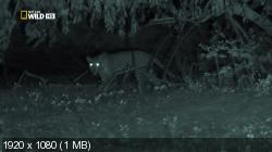 Ночные охотники.Леопарды / Night Stalkers.Leopards (2011/HDTVRip/HDTV 1080i)