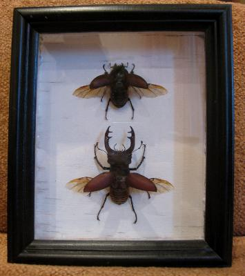 Самостоятельное коллекционирование насекомых