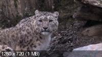 Снежные леопарды / Snow Leopards (2010) BD Remux + BDRip 720p